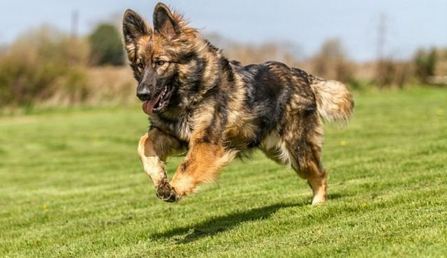 Challenging and cuddly: the german chow shepherd mix