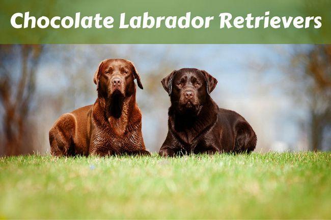 Chocolate labrador retriever facts