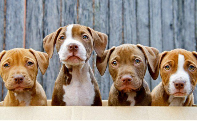 Citizens Win! Bill on Pit Bulls Labeled as Dangerous is Killed