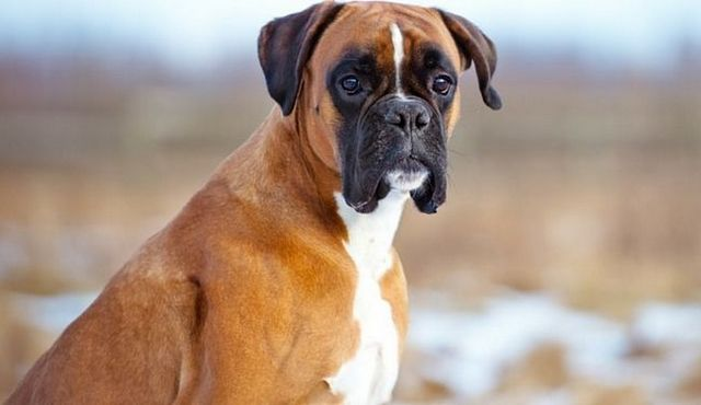 C'mon, let's play! What are the best toys for boxers?
