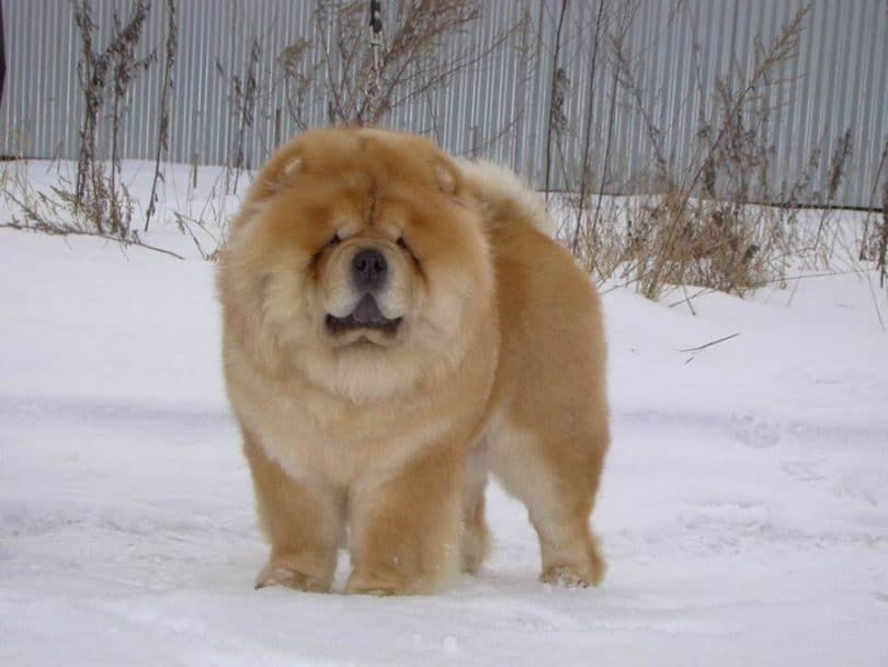 Chow Chow in snow