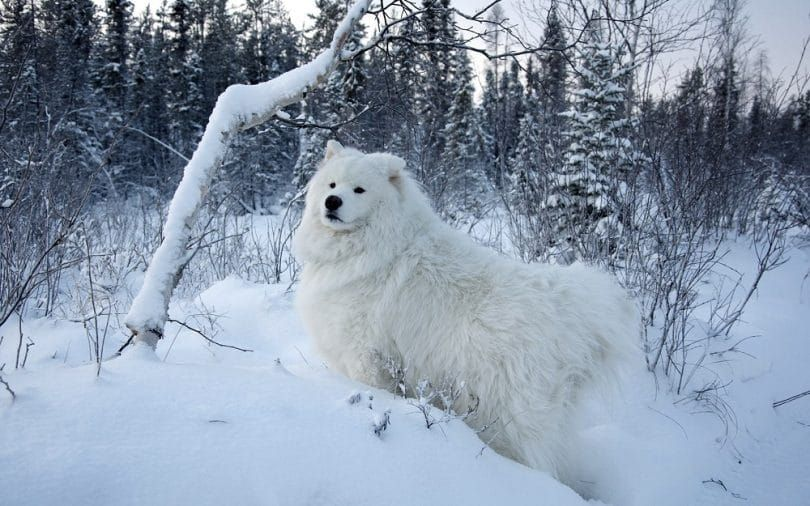 Samoyed in snow
