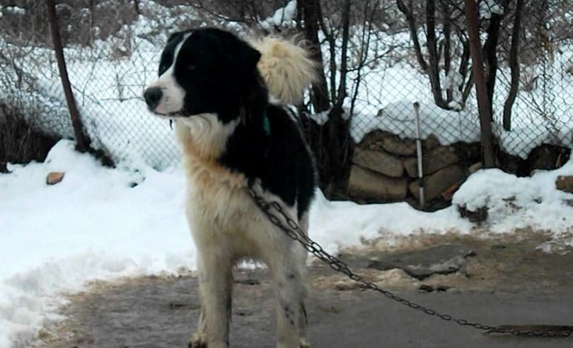 Karakachan Bear dog