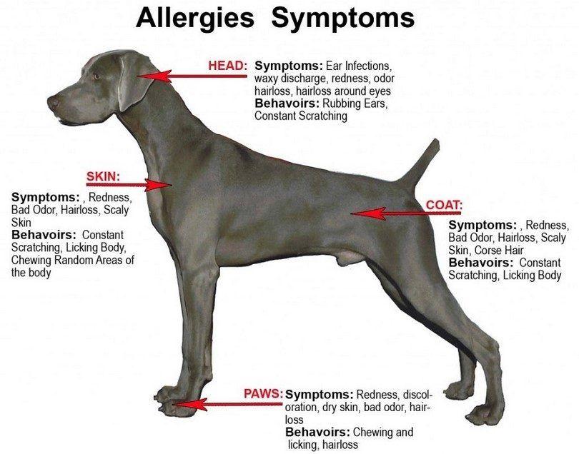 Dog symptoms allergy