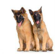 BelgianTeruvian puppies
