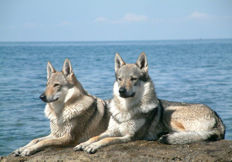 Cool dog breeds: awesome dogs you didn't even know about