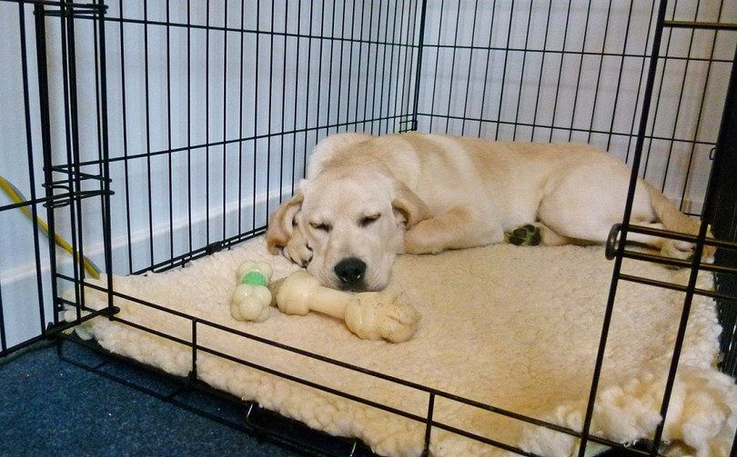 Crate training adult dog: steps to implement for good behavior