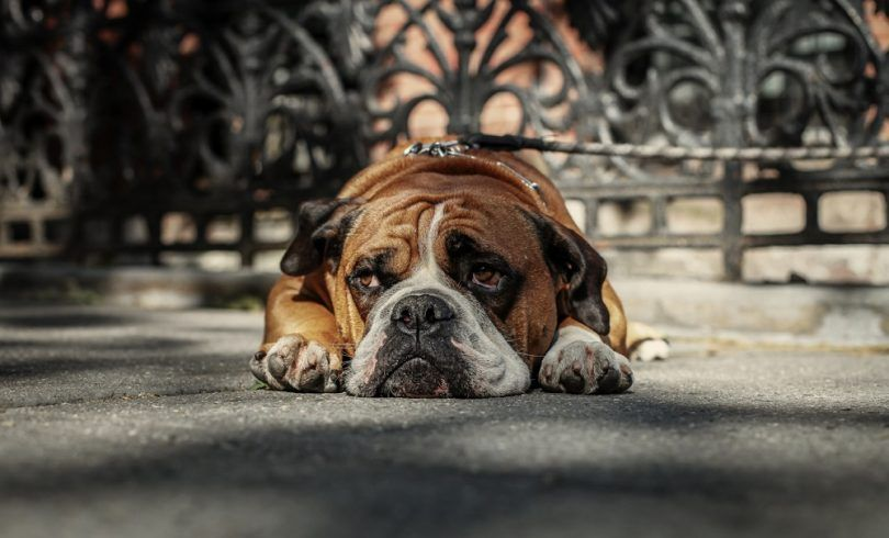 Depression in dogs: signs, causes, treatment options and more