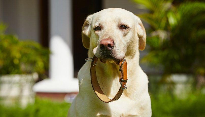 Designer dog collars: making your dog feel special
