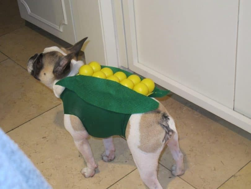 Dog in corn costume