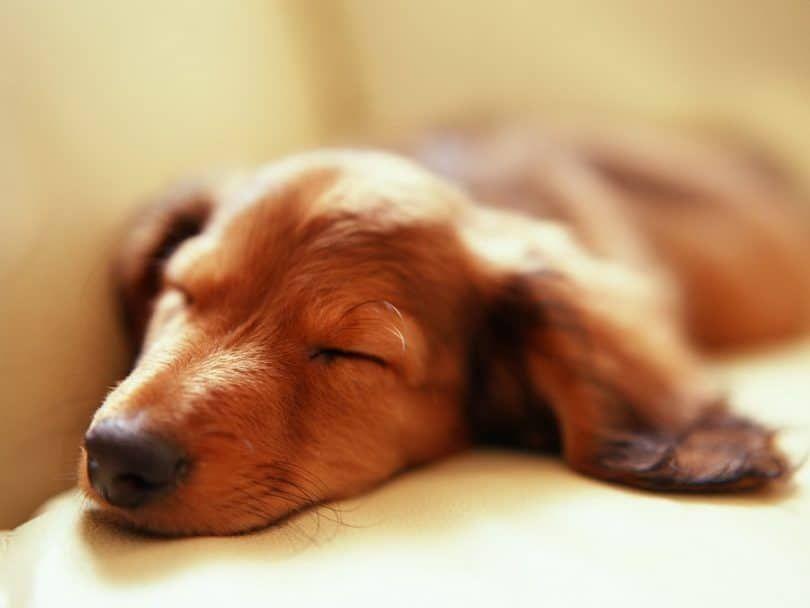 Sleeping dog and dreaming