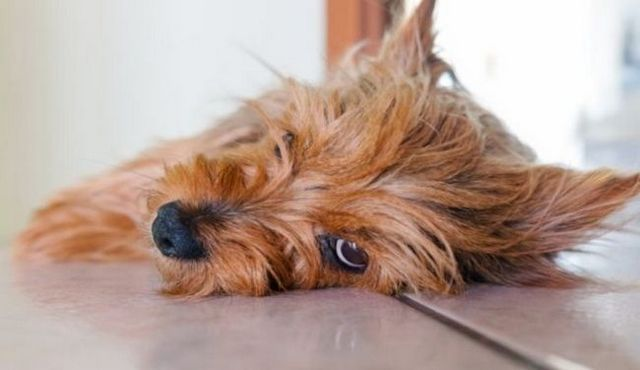 Do dogs have periods? A potentially messy question answered