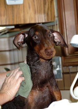 Dog Bathing Tips How to Give a Dog a Bath - Towel Dry