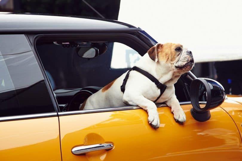 English bulldog in the car