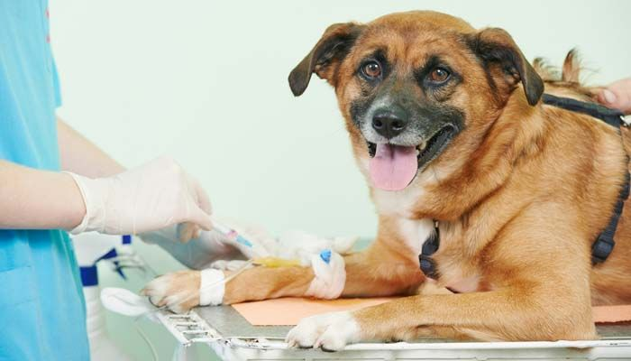 Dog eye allergy blood test