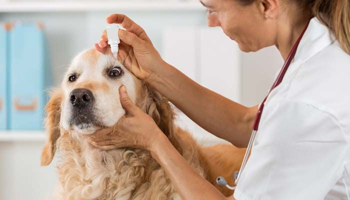 Medication for dog eye allergies