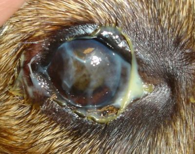 Dog eye boogers, how to get rid of eye boogers in dogs