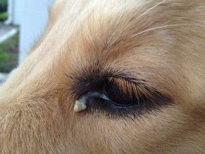 Dog eye discharge yellow, green – causes, treatments, home remedies, pictures