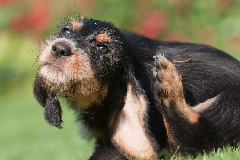 Dog grass allergy: an atopic dog allergy and its treatments