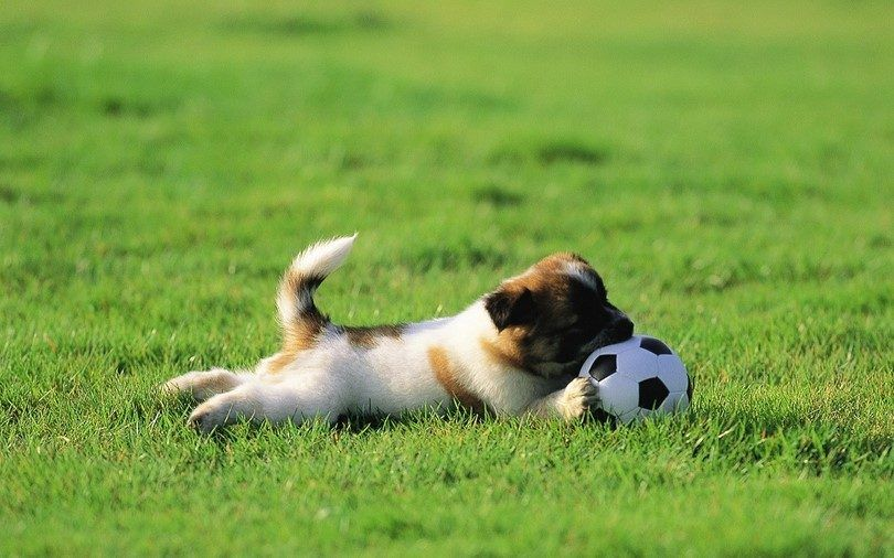Puppy itching in a grass