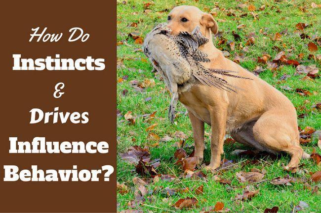 Dog instincts and drives – a major influence on labrador behavior