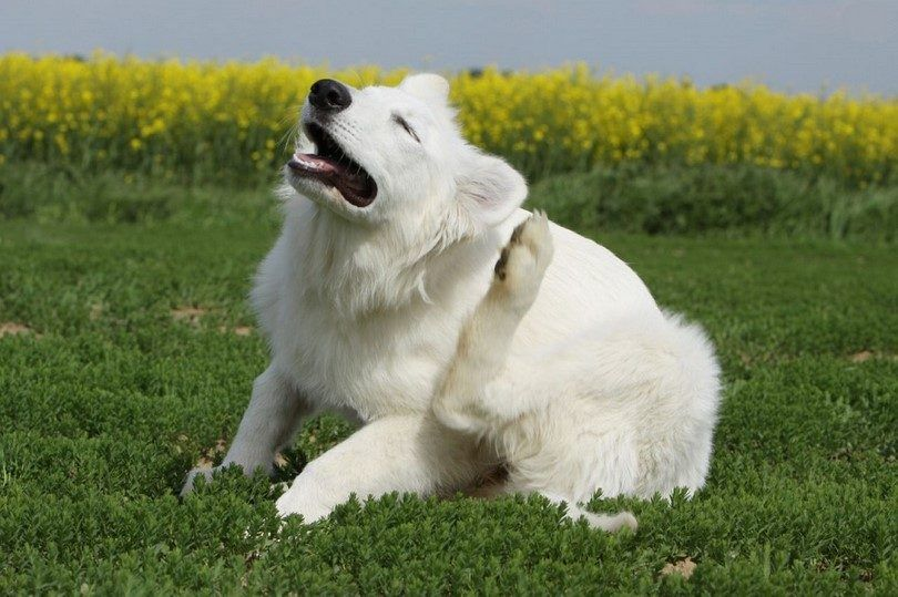 Dog skin allergies: how to help your dog overcome itchy skin