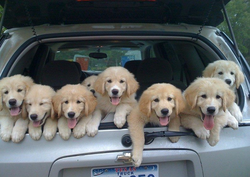 Puppies in the car