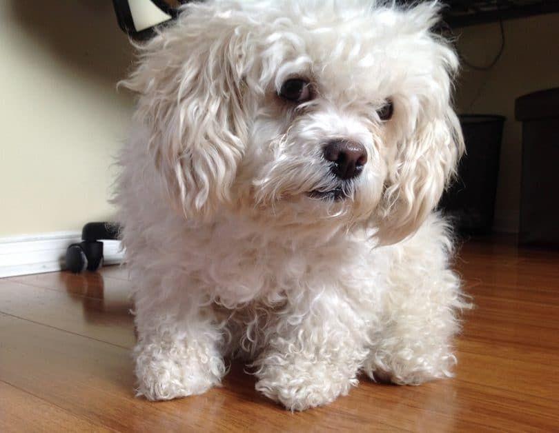 Trisomy dog