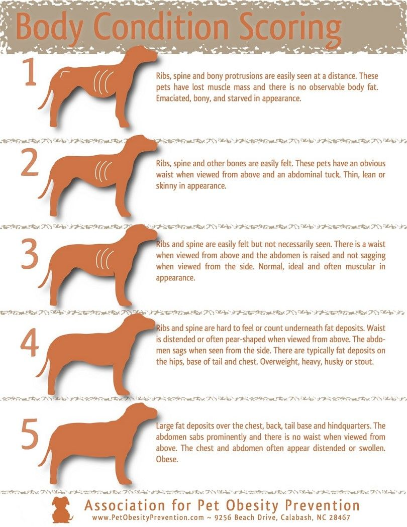 Dog body condition infographic