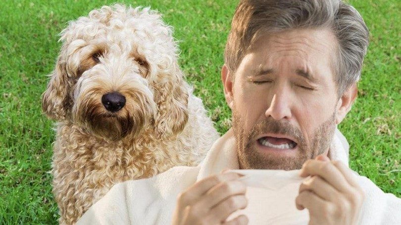 Dogs for people with allergies: finding a pet that won't make you sick