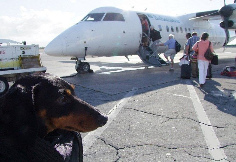 Dachshund going on a plane