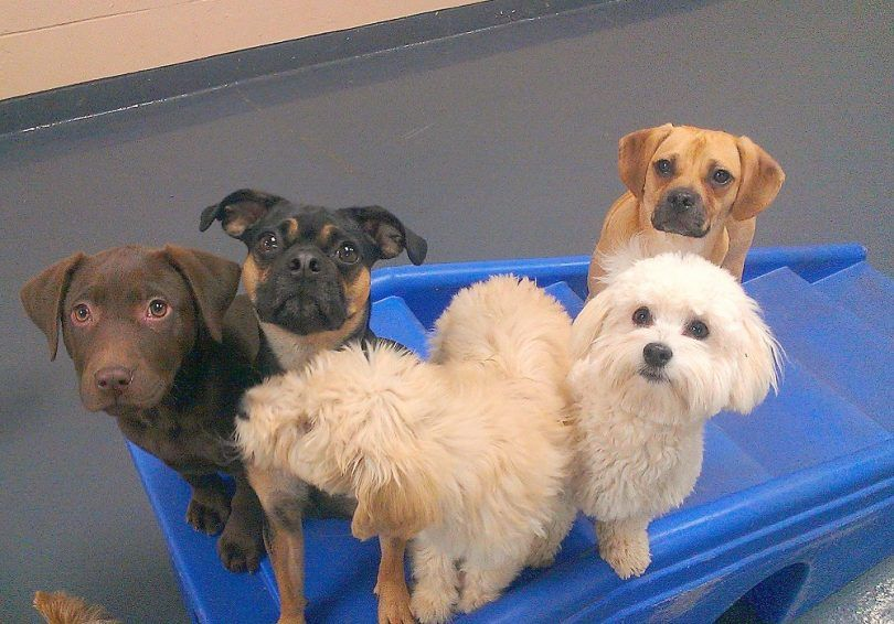 Dogs that stay small: american kennel club presents 20 miniature dog breeds