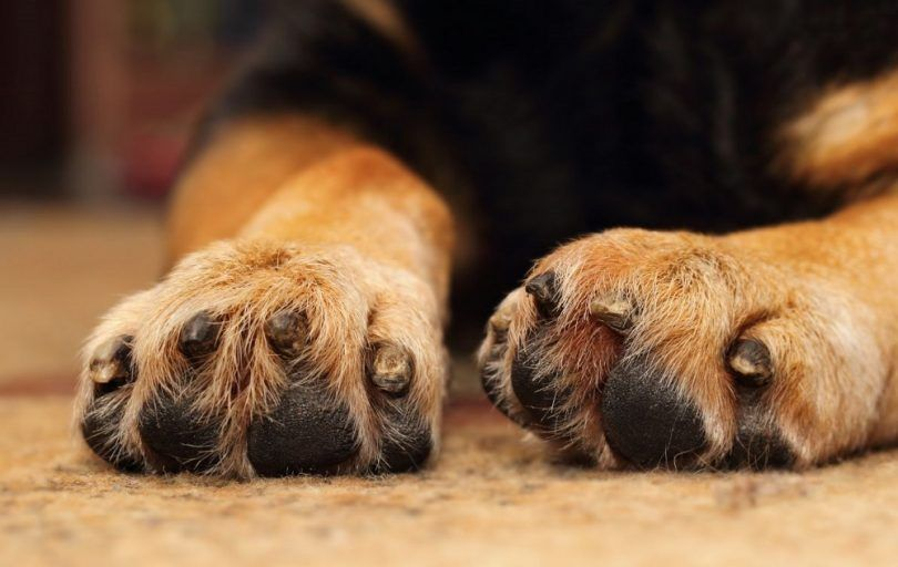 Dogs with webbed feet: gift or curse?