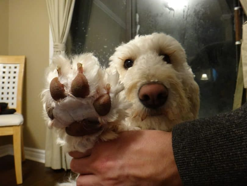 Dog webbed feet
