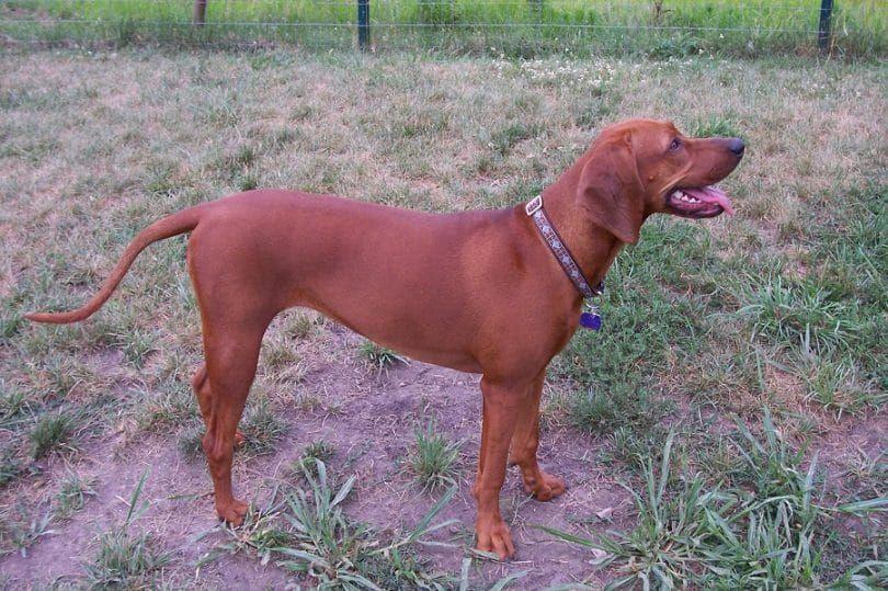 The Redbone Coonhound