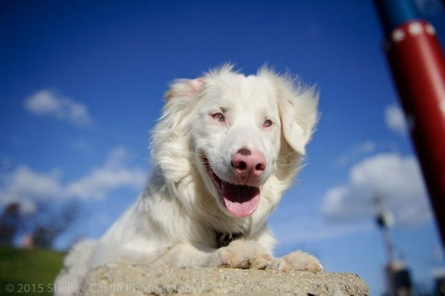 Double merle dogs: a lethal genetic combo that's totally preventable!