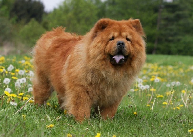 Chow Chow dog in the field