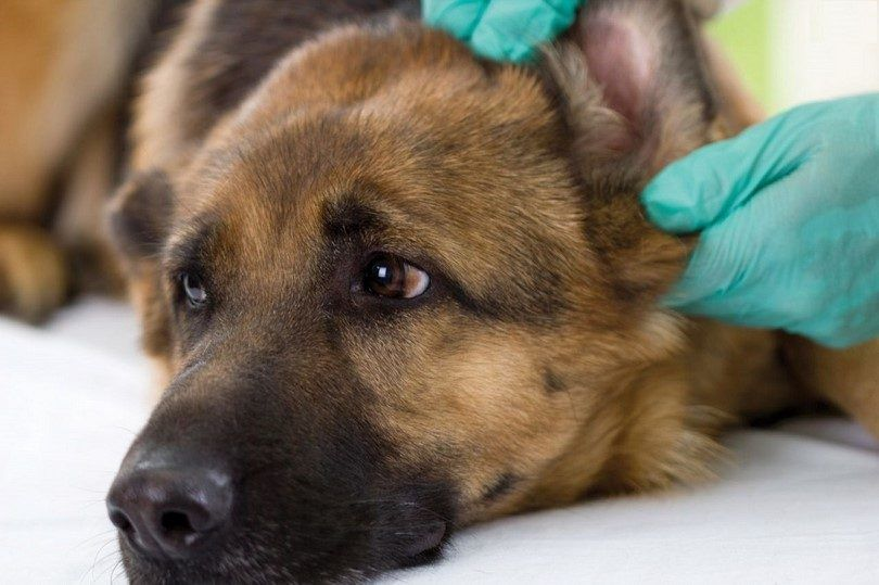 Ear infection in dogs: learn about it before things get worse
