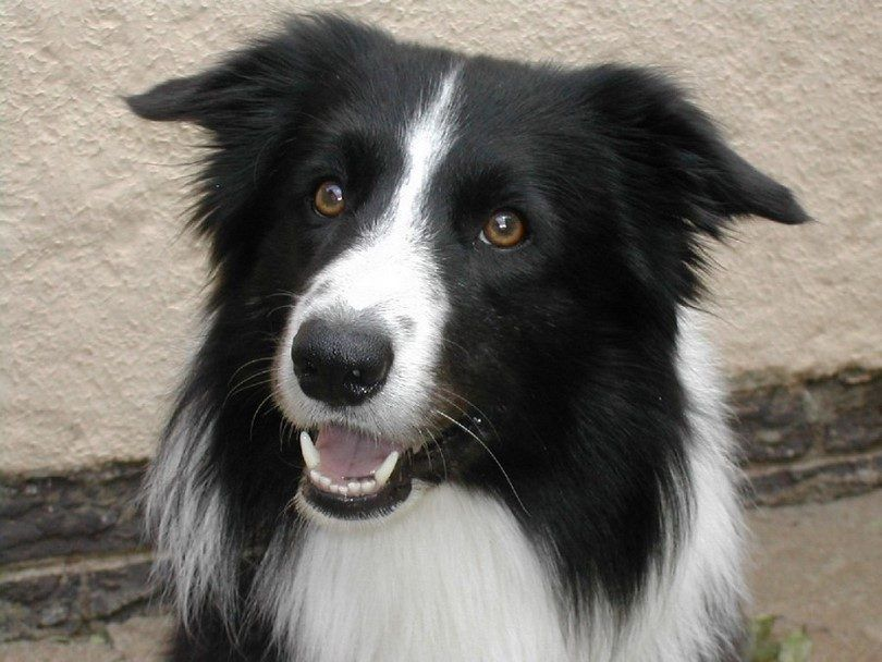 Trained collie