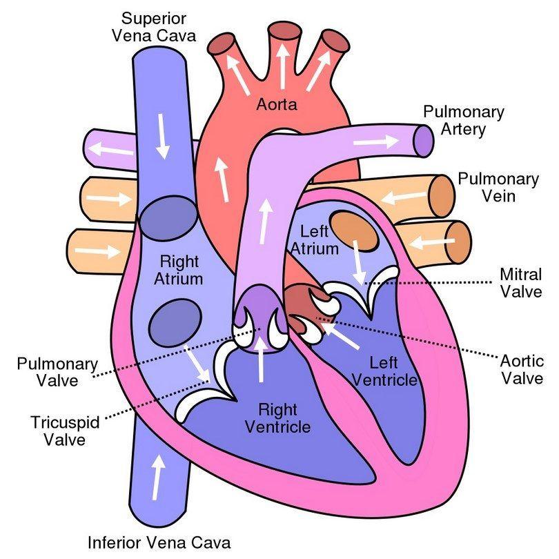 Dog heart diagram