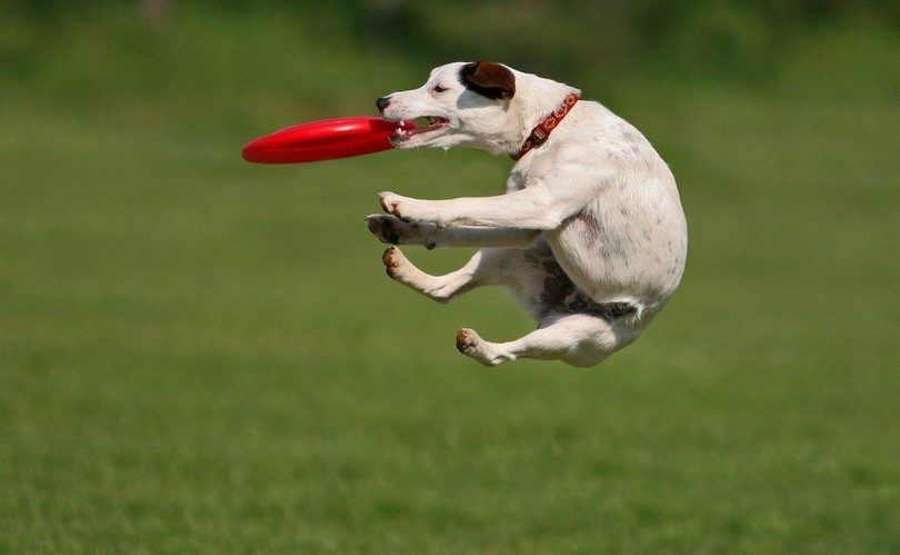 Dog playing outside with a Frisbee
