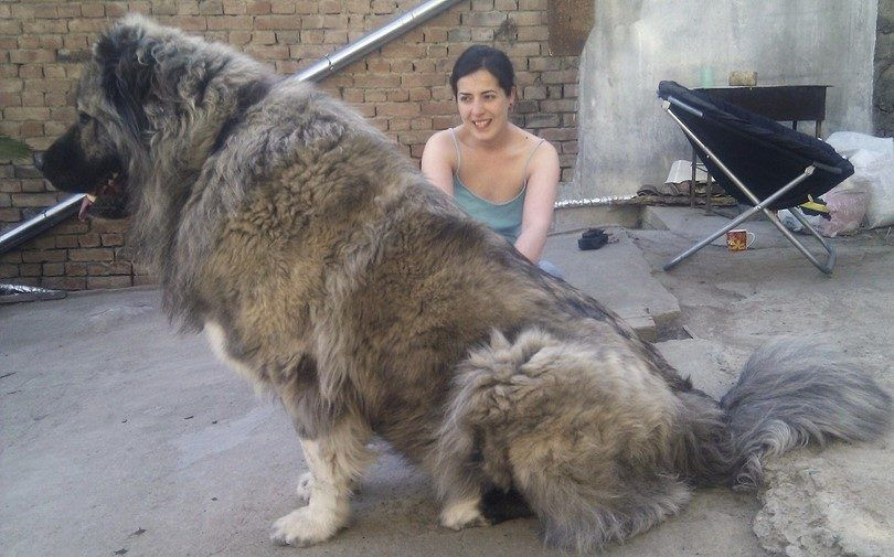 Extra large dog breeds: giants in stature but warm, fuzzy puppies at heart