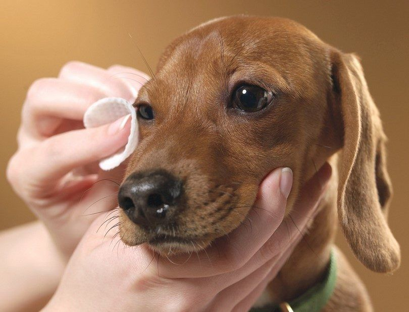 Cleaning dogs eyes