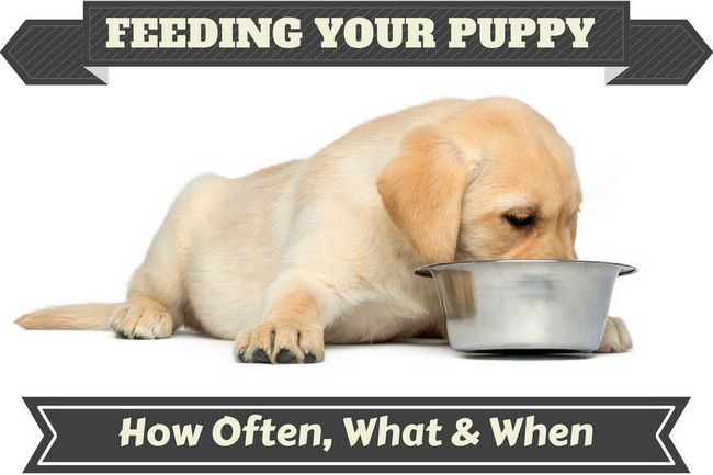 Feeding your labrador puppy: what, how much, how often?