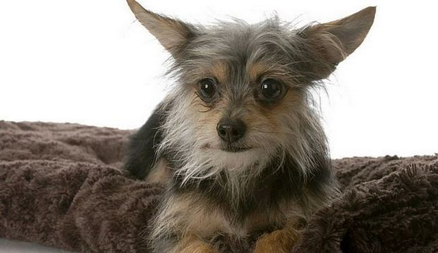 Fiery furballs: a look at the yorkie chihuahua mix