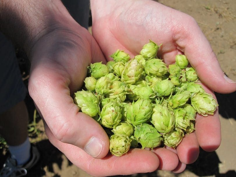 Cultivated hops