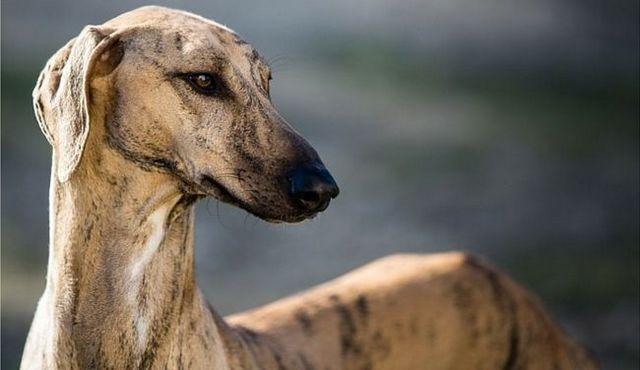 Four-legged lightning: the best toys for greyhounds