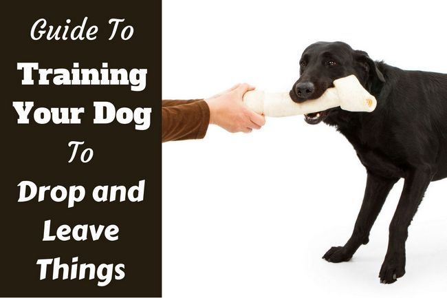 """Give that back!"" train your lab to 'drop it' and 'leave it'"