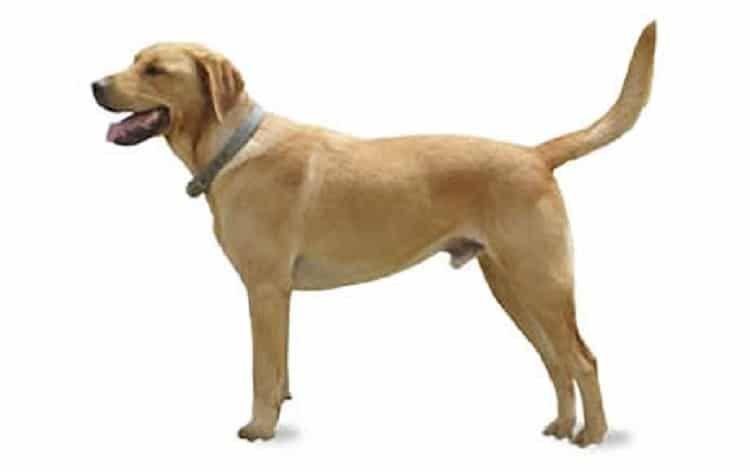 Goldador dog
