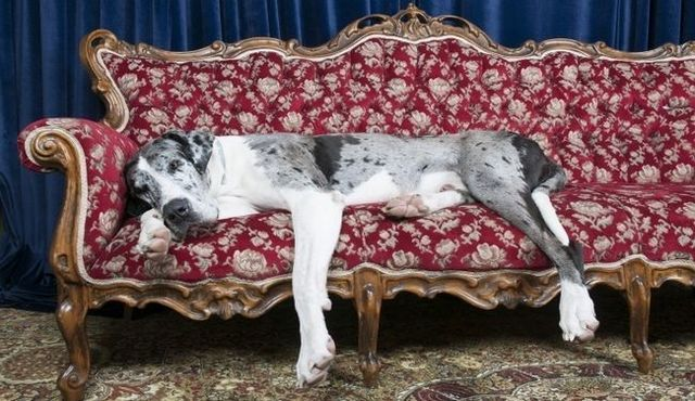 Great dane facts: the basics behind the big, lovable breed